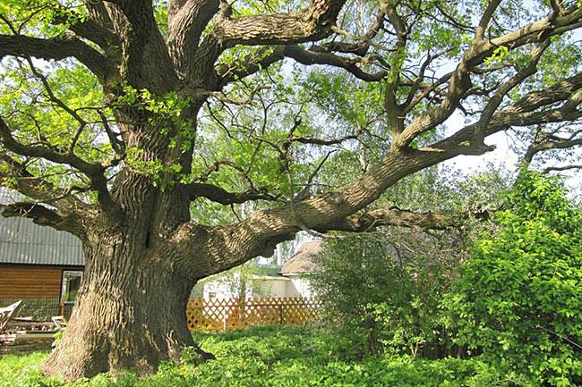 Тот самый дуб из деревни Наумово